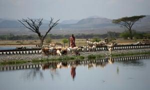Man Conducting Cattle Along The Railway At Lake Basaka, Metehara, Ethiopia