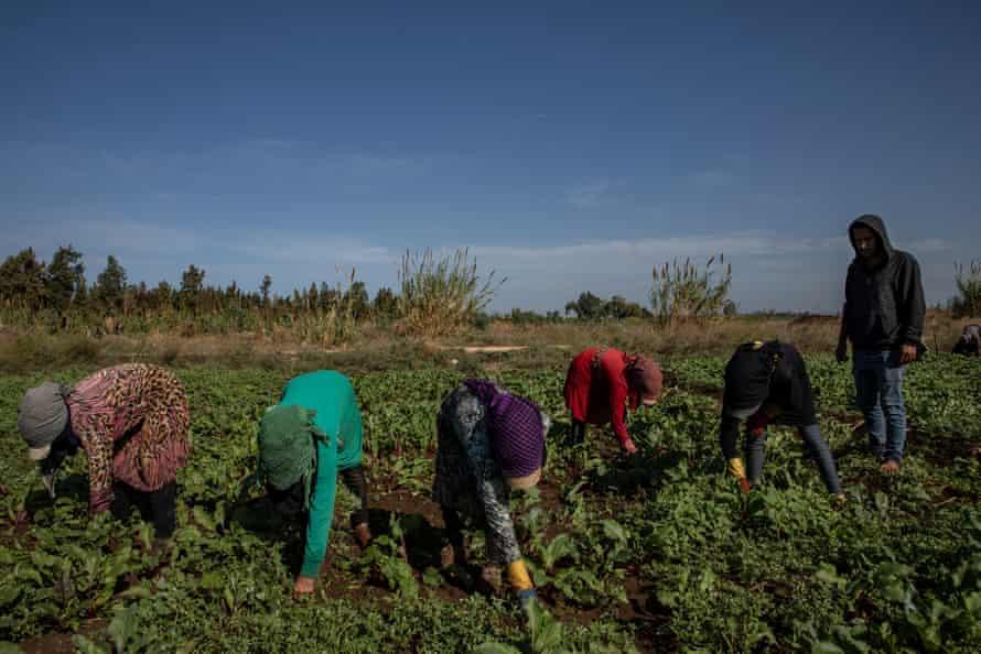 Women working in the fields in the Qleeiat area in northern Lebanon