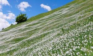 Wild white narcissi on the slopes of Golica.