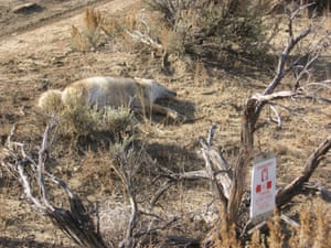 A dead wolf or coyote near a poison warning sign in New Mexico, US