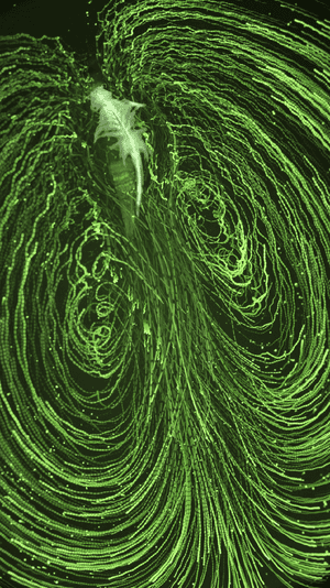 Flow pattern caused by krill motion.