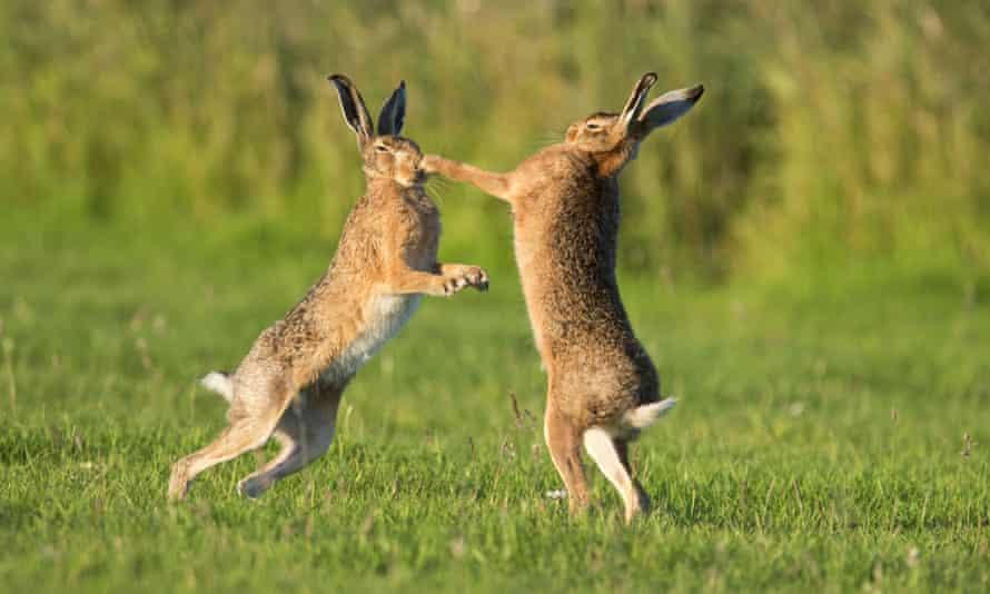 European Hare (Lepus europaeus) boxing (female on right) European Hares, South East England, Britain - July 2012