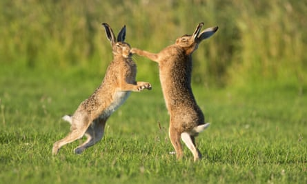 European Hare (Lepus europaeus) boxing (female on right) European Hares, South East England, Britain - July 2012