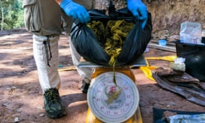 A vet weighs the waste found in the deer.