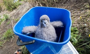 A Hutton's shearwater chick rescued by a volunteer army in Kaikoura