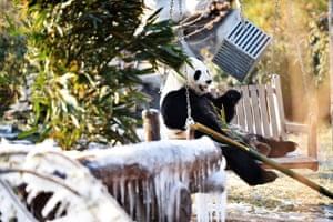 Jinan, China. A giant panda relaxes among frozen bamboo at a wildlife park