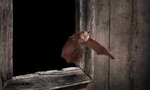 Echolocation signals revealed evidence of the greater horseshoe bat's return to a region of eastern England.