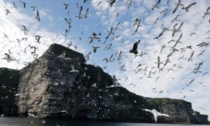A flock of northern gannets over a nest colony site on Shetland in 2006.
