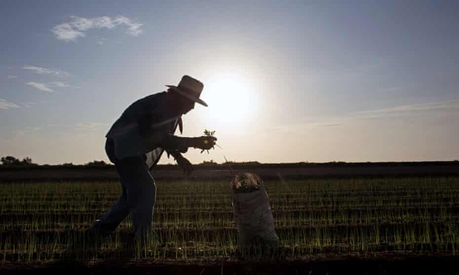 A day laborer harvests chives at a field in the Mexicali valley, Baja California. Farmers fear a new US-owned brewery will threaten their water supply.