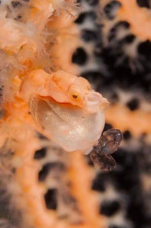 Two fry being born from a male Denise's pygmy seahorse.
