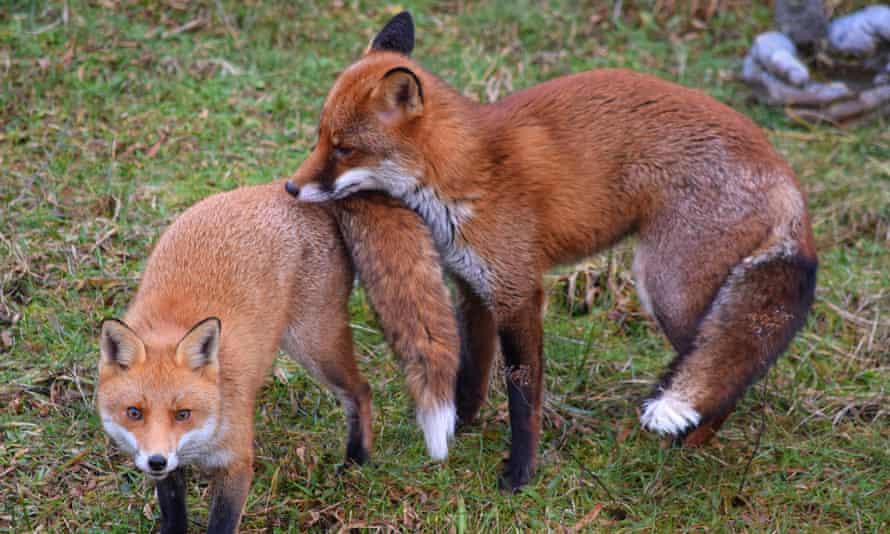 Foxes in Ben's back garden in Fleetwood, Lancashire from 7 February.