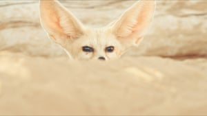 The fennec fox's white coat, giant ears and nocturnal nature all help it to cope with the desert.