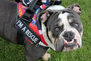 Herbert the English Bulldog at the All Dogs Matter Bark Off charity dog show