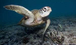 A turtle near Heron Island
