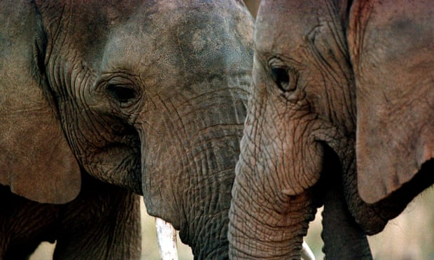 An elephant is killed every 15 minutes on average due to the poaching crisis
