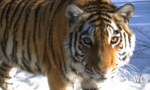 Zolushka was rescued in 2012, and has since been rehabilitated and reintroduced to the Bastak reserve.