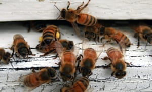 Marvelous Australias Bees And Wasps Revealed To Be As Dangerous As Uwap Interior Chair Design Uwaporg
