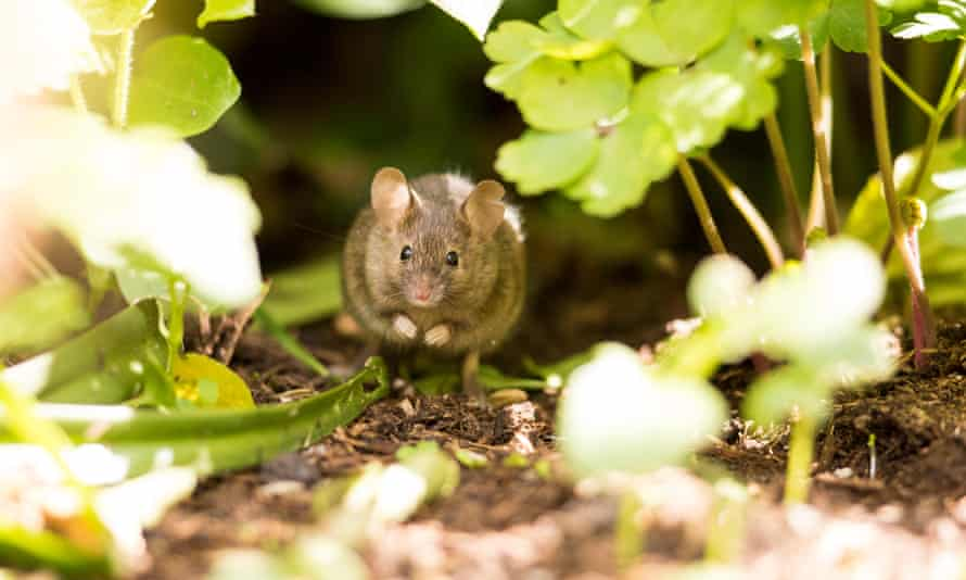 Mouse in flowerbed
