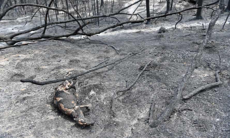 Kangaroo carcass