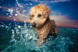 First place, Dogs At Play: Petey, a Wheaten terrier, paddling in the water on the south shore of Boston, Massachusetts
