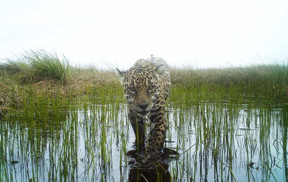 A jaguar captured by a camera trap on the island.