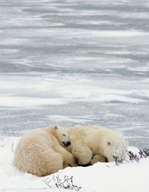 A mother polar bear and her cub sleep near the ice outside Churchill, Canada Saturday Nov. 4, 2006.