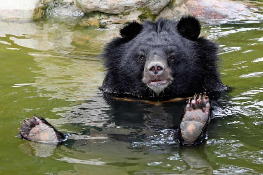 A moon bear rests in a pool inside an enclosure at the a bear rescue centre in Tam Dao national park. Across Vietnam, bears are also still trapped in tiny cages on bear bile farms.