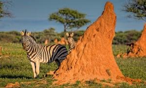 Zebras by a termite mound in Okonjima, Namibia