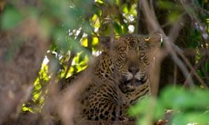 Jaguar in Planet Earth II.