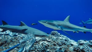 Grey Reef sharks and Sicklefin Lemon sharks captured by a baited remote underwater video system in French Polynesia