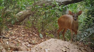A little brown brocket deer, a species which only reaches 80cms (30 inches) in height, arrives to graze on roots and shoots uncovered by giant armadillo digging.