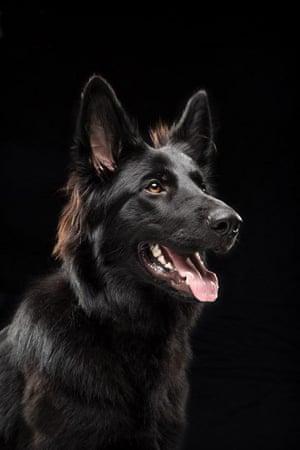 Kenai - A German shepherd