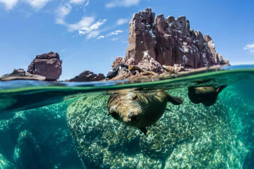 California sea lions half above and half below at Los Islotes, Baja California Sur, Mexico
