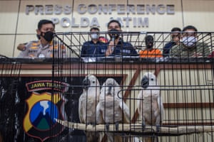 Cockatoos under the custody of Indonesian nature conservation agency officials, during a press conference in Surabaya. Police arrested two suspected animal smugglers and seized various animals including birds of prey, fifteen cockatoo parrots and eight langurs.