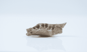 The jawbone is least 20% smaller than that of the Liang Bua hobbit.