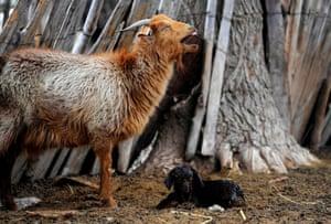 Mendoza, Argentina A goat stands next to its newborn kid in La Cortadera