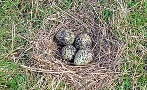 Four lapwing eggs in a nest that is just circle of dry grass on the ground
