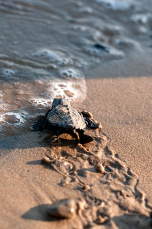 A hatchling arrives at the water's edge.
