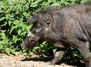 Male Visayan warty pig.