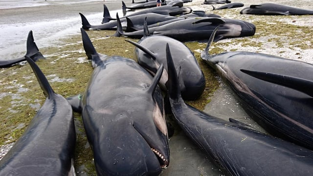 Hundreds Of Whales Die In Mass Stranding On New Zealand Beach