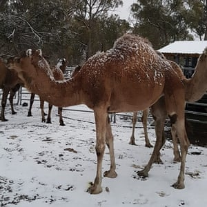 Camels in the snow at New England Camel Co, NSW, Australia.