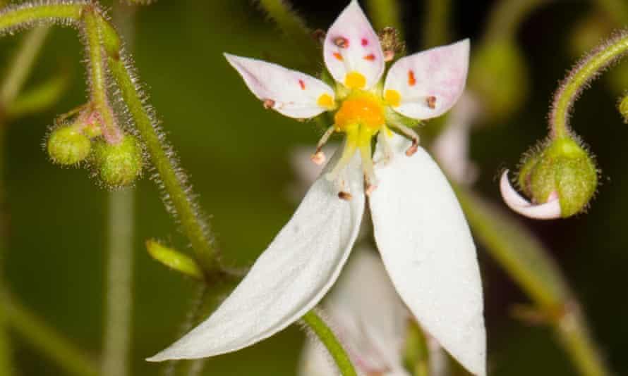 Jungle fever: Saxifraga stolonifera.