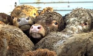 Irish cattle in Turkey