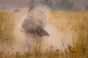 Montana, US. A bull bison wallows in dirt at the National Bison Range