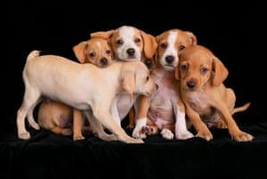 2nd Place Puppies: Beagle mix puppies