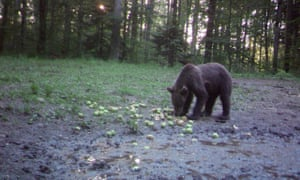 Feeding wild bears with unsaleable fruits and vegetables in Slovenia.