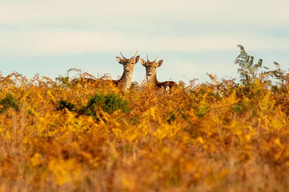 New Forest fallow deer among browning autumn bracken during the golden hour at the end of a sunny and warm day in October.