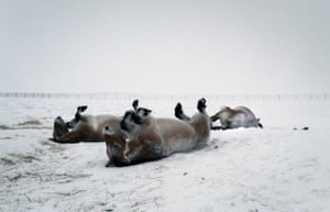 Przewalski horses, born at a reserve in the south of France, spend their first winter in the snow