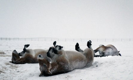 Przewalski's horses rolling in the snow