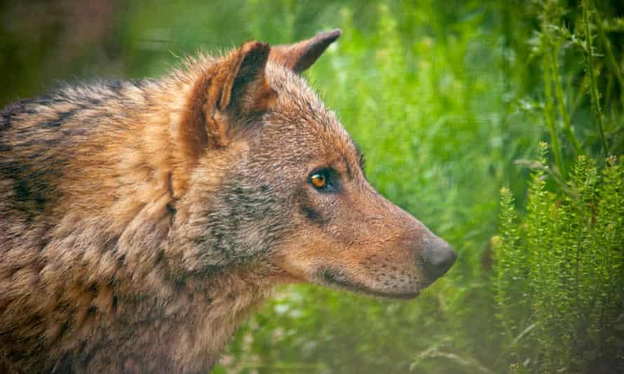 Rare Iberian wolf